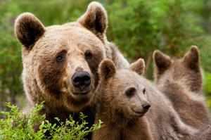 Медведь Гризли или серый медведь
