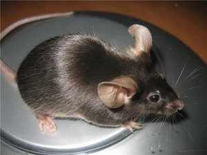 Простая мышь в природе