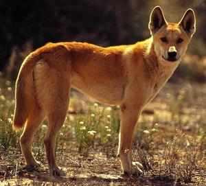 Собака динго внешний вид