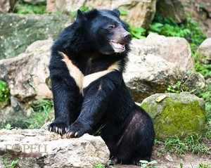 Описане гималайского медведя