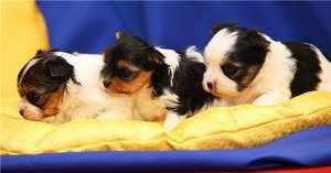 Порода бивер йорк с щенками