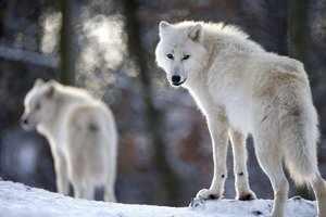 Стая полярных волков