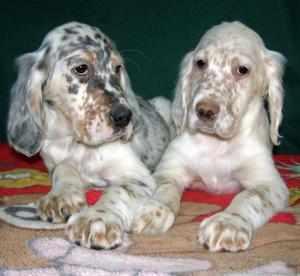 Подрощенные щенки сеттера