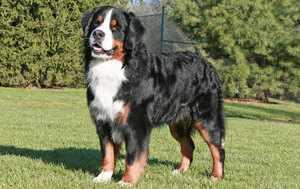 Самые крупные собаки
