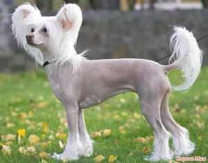 Заболевания китайской хохлатой собаки