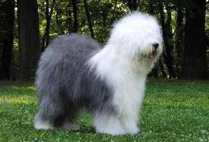 Бобтейл - бело-серая собака
