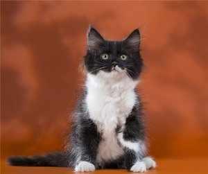 Пушистый котенок сибирской породы