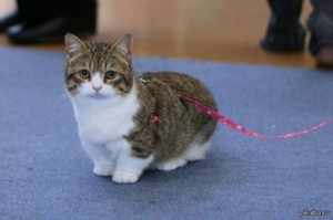 Кошки с короткими лапами