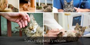 Токсиплазмоз у кошек