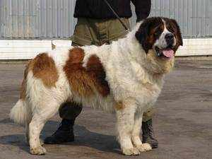 Собака породы московская сторожевая на поводке