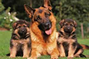 Немецкие овчарки - взрослый пес и щенки