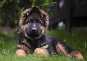 Подрощенный щенок немецкой овчарки