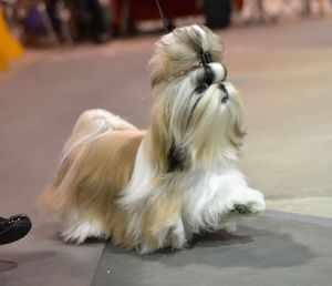 Описание породы собак шицу