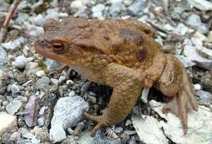 Чем питается серая жаба