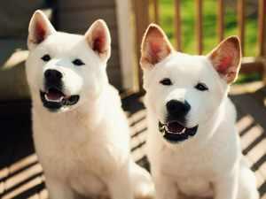 Характер собаки американская акита
