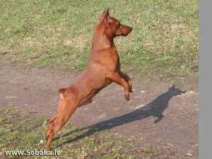 Порода собаки карликовый пинчер