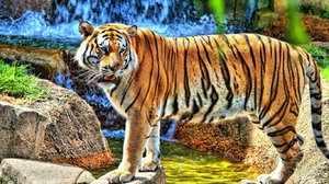 Амурский тигр - отличительные черты