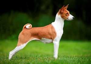 Не лающая собака - это не миф, есть такая порода