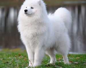 Самоедская собаки