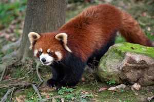 Образ жизни красной панды