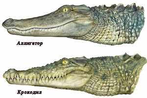 Крокодил и аллигатор - основные отличия