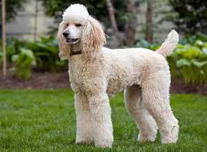 Пудель: уход за собакой и воспитание