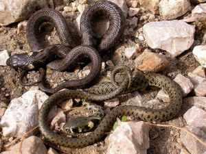 Описание змеи уж