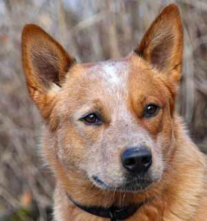 Австралийская пастушья собака красного окраса фото крупно