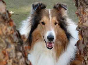 Порода собаки-колли