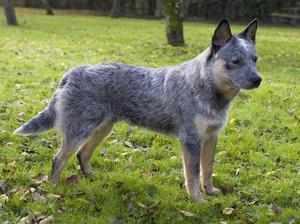 Собака породы встралийский хилер голубого окраса фото