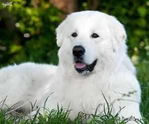 Своенравная порода собаки