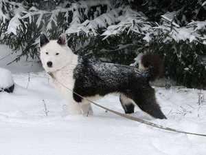 Особенности дрессировки карельской медвежьей собаки