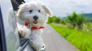 Бишон фризе - как воспитывать щенка