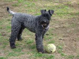 Характеристика собак породы Керри блю терьер