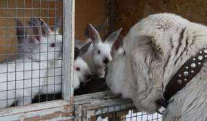 Племенные кролики и собака