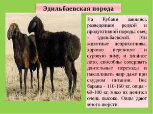 Как выглядит овца эдильбаевской породы