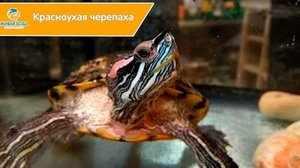 Внешний вид красноухой черепахи