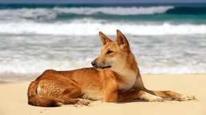 Собака динго на море