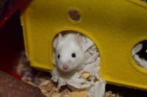 Домик для декоративной мыши