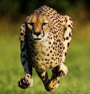 Возможности гепарда