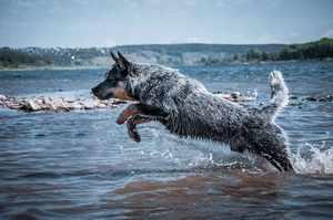 Австралийская пастушья собака прыгает в воду