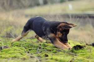 Дрессировка щенка: основные правила