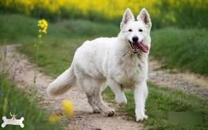 Милая швейцарская белая овчарка фото