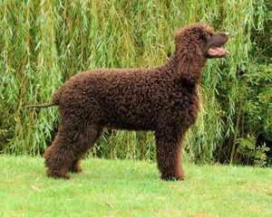 Ирландский водяной спаниель - красивые собаки