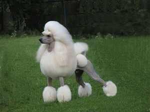 Собака породы королевский пудель на прогулке