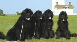 Внешность собаки водолаза