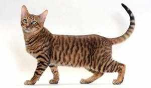 Тигровая кошка: описание