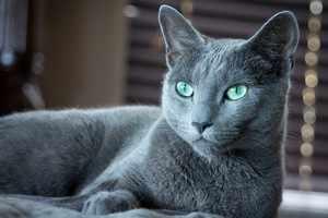 Русская голубая кошка с выразительным взгядом