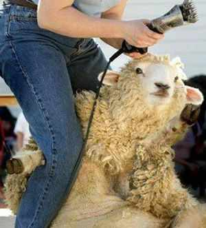 Особенности проведения стрижки овец