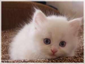 Турецкая ангора - миленький котенок